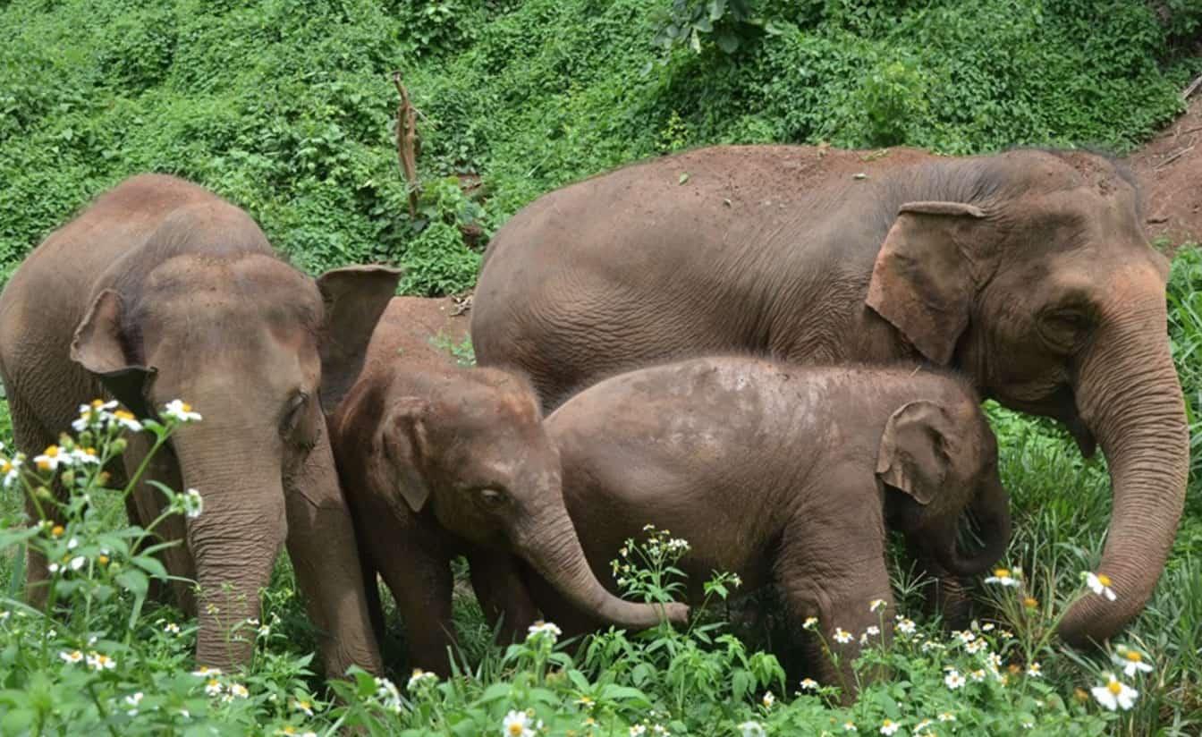 Chiang Mai Elephants
